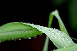 香茅叶枯病及其防治