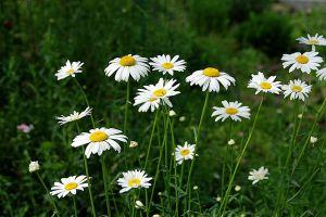 白晶菊和纽扣菊的区别