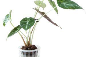 黑叶观音莲的病虫害及其防治