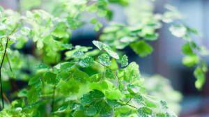 铁线蕨叶子干了怎么办