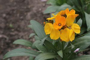桂竹香的花期
