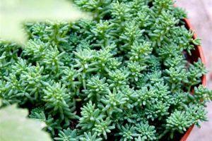 薄雪万年草的繁殖方法