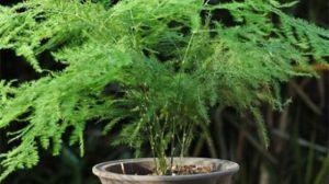 文竹和武竹的区别