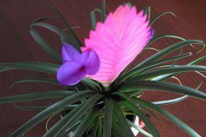 铁兰开花后要怎么养护