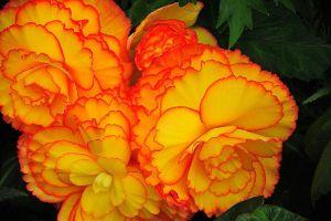 球根海棠什么时候开花