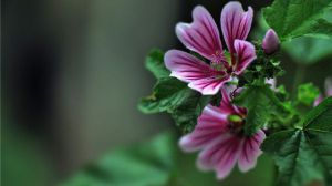 锦葵和蜀葵的区别