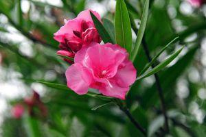 夹竹桃什么时候开花