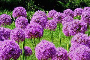 大花葱的繁殖方法