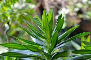 百合竹的繁殖方法有哪些
