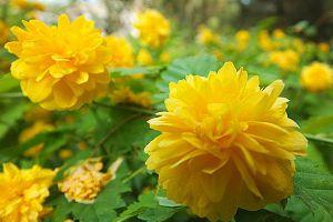 棣棠花的花语和传说