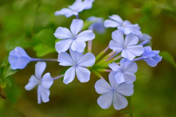 蓝花丹什么时候开花