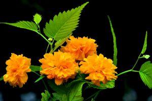 棣棠花什么时候开花