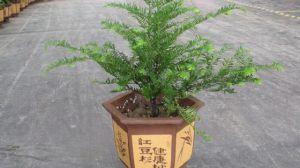 红豆杉的风水作用