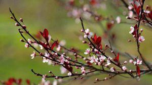 紫叶李什么时候开花