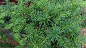 红豆杉几月份开花结果