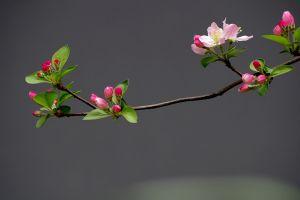 怎么让垂枝海棠二次开花
