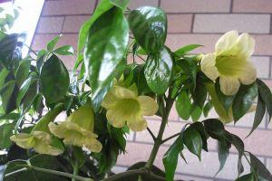 幸福树叶子发黄、落叶,教你一个小动作,立马绿油油!