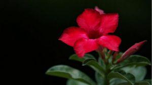 沙漠玫瑰怎么浇水和施肥