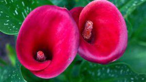 马蹄莲什么时候开花