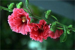 蜀葵的品种有哪些