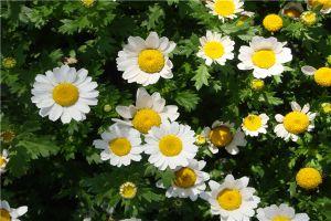 白晶菊播种怎么提高成活率