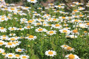 白晶菊什么时候开花
