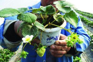 盆栽草莓怎么授粉