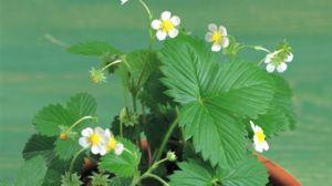 盆栽草莓什么时候种好