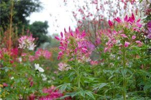 怎么提高醉蝶花种子的发芽率