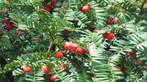 东北红豆杉与南方红豆杉有什么区别