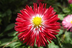 翠菊什么时候开花