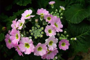 四季樱草的花期控制