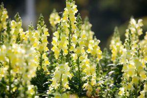 金鱼草什么时候开花