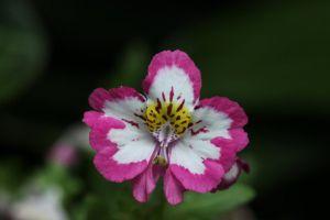 蛾蝶花什么时候开花