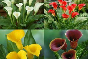 彩色马蹄莲的品种