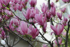 紫玉兰的病虫害及其防治