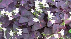 紫叶酢浆草的功效和作用