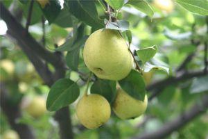 梨树的病害及其防治