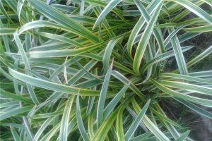麦冬草的主要价值有哪些