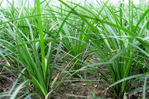 麦冬草的历史传说