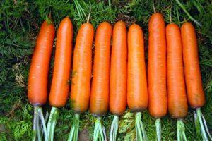 阳台怎么种植胡萝卜