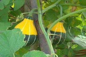 观赏南瓜如何盆栽种植