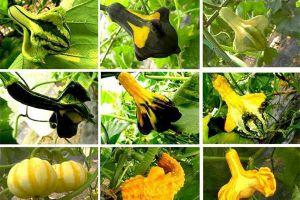 观赏南瓜种类有哪些