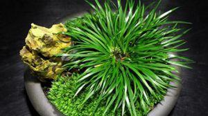 菖蒲盆景怎么做