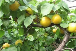 杏树的病虫害及其防治