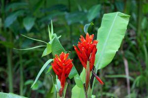 红花蕉的花语及其价值