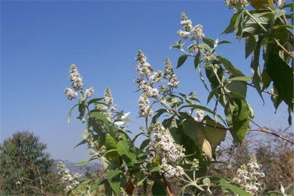 密蒙花的养殖方法和注意事项