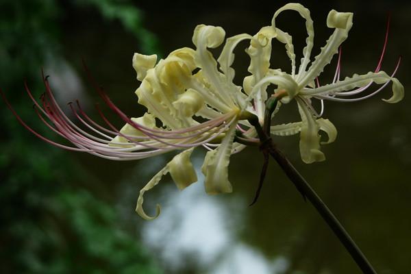 白花石蒜的花语和传说