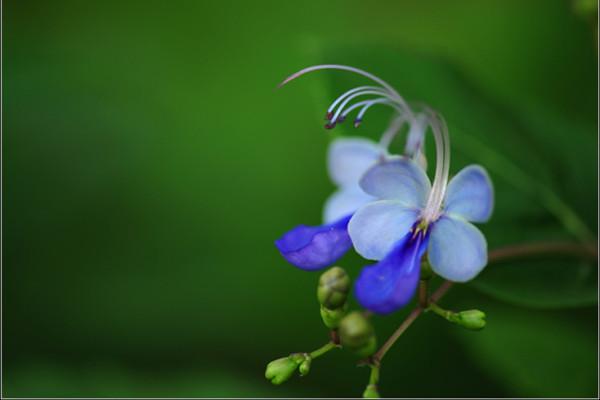 蓝蝴蝶的花语和名称由来