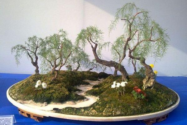 垂柳式柽柳盆景的制作